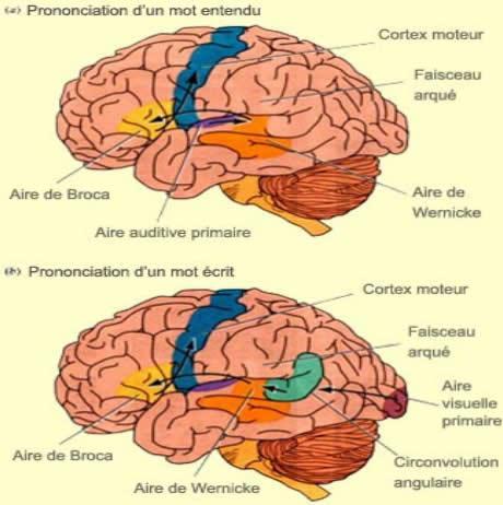 Le cerveau - La Cartographie du Cerveau en image