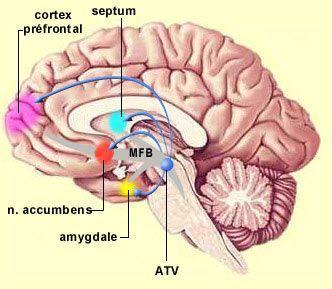 Cerveau : structure du circuit des récompenses